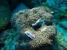 Two Nudibranchs