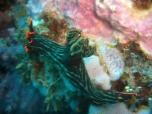 Nudibranch 1