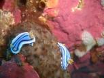 Nudibranch 4