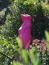 Pink Meerkat
