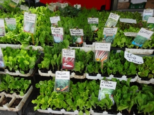 Veggie Starts