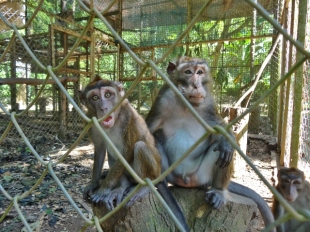 Cheeky Macaques at WIN