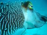 Cuttlefish Closeup