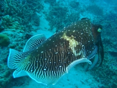 One Cuttlefish