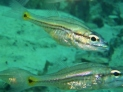 Barracuda Lake, Cardinalfish (maybe)