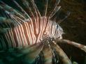 Irako Maru, Lionfish
