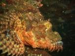 Kogyo Maru, Scorpionfish