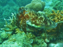 Lusong Gunboat, Cuttlefish