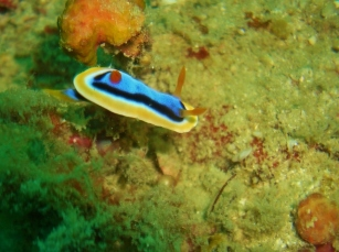 Lusong Reef, Chromodoris Nudibranch
