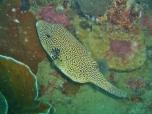 Lusong Reef, Pufferfish
