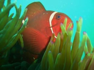 Okikawa Maru, Anemonefish
