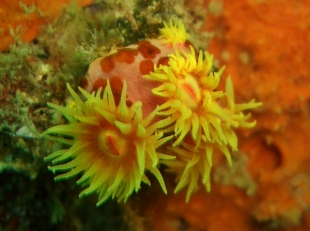 Olympia Maru, Soft Coral