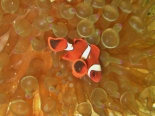 Taiei Maru, Clownfish