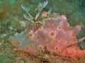Batangas Halgerda (Dorid Nudibranch)