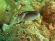 Headshield Slug