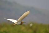 In Flight (Inle Lake)