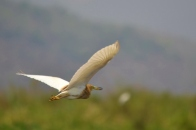 In Flight (Inle Lake)