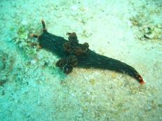 Kubaryana's Nembrotha (Dorid Nudibranch)