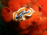 Magnificent Chromodoris (Dorid Nudibranch)