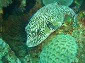 Map Pufferfish