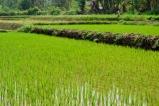 Rice Terraces Near Inle Lake