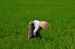 Weeding Rice (Inle Lake)