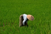Weeding Rice (Inle Lake)