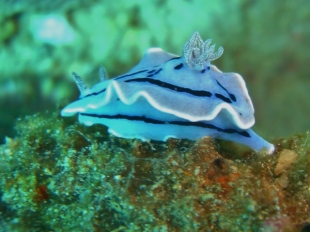 Willan's Chromodoris (Dorid Nudibranch)