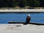 Bald Eagle at Sidney Spit