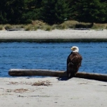 Bald Eagle at Sidney Spit