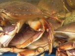 Crab for Dinner