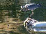 Heron Goes Fishing