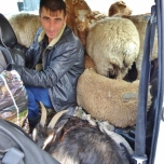 Riding in the Backseat with the Sheep and a Goat