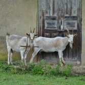 Goat Wearing A-frame Collar