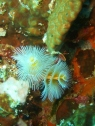 Christmas Tree Worms, Peascador Island West, Moalboal