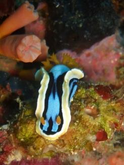 Chromodoris Nudibranch, Pescador Island West, Moalboal
