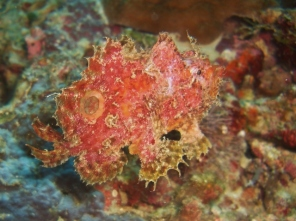 Frogfish, Dolphin House, Moalboal