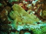 Leaf Scorpionfish, Pescador Island East, Moalboal
