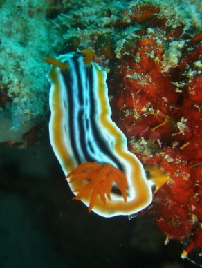 Magnificent Chromodoris Nudibranch, White Beach, Moalboal