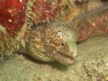 Moray Eel, House Reef, Moalboal