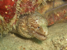 Moray Eel, House Reef, Moalboal