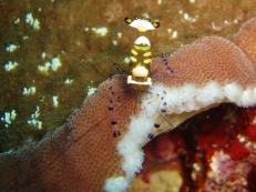 Peacock Tail Anemone Shrimp, Pescador Island West, Moalboal