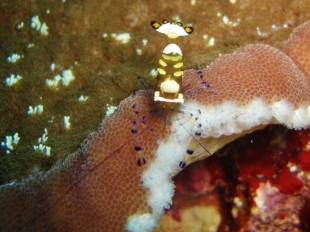 Peacock Tail Anemone Shrimp, Pescador Island West, Moalboal