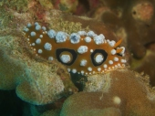 Phyllidia Nudibranch, White Beach, Moalboal
