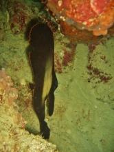 Pinate Spadefish, House Reef, Moalboal