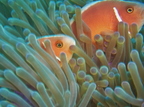 Pink Anemonefish, Talisay Point, Moalboal