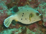 Pufferfish, House Reef, Moalboal