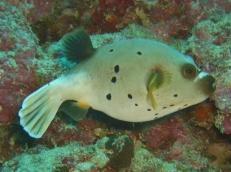 Pufferfish, House Reef, Moalboal