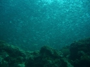 Sardines in the Shallows, House Reef, Moalboal