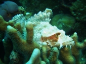 Scorpionfish, Dolphin House, Moalboal